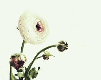 "Flower Photography, Ranunculus, Nature Print, Floral Art Print, Romantic Photo, Fine Art Photography ""Ranunculus 1"""