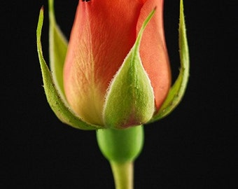 Orange Rosebud Photograph Note Card