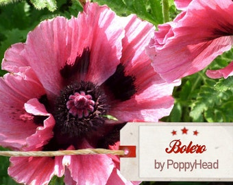 Papaver Oriental 250 seeds perennial plant, comes back every year