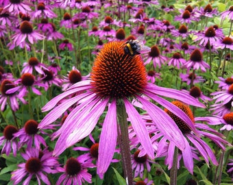 Echinacea Plant (Purple Coneflower)