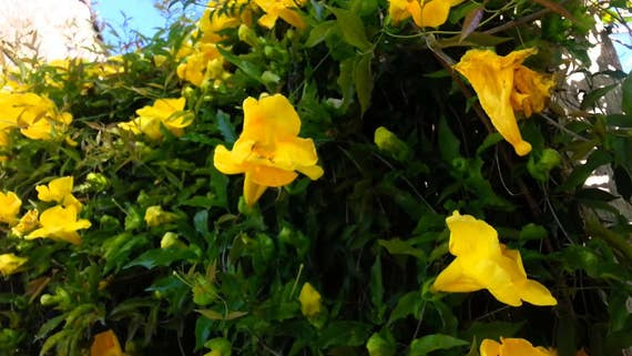 Yellow trumpet vine 3 plants in 25 pot fast climbing yellow trumpet vine 3 plants in 25 pot fast climbing growth yellow flowers green foliage ground cover climbing vine beautiful mightylinksfo Choice Image