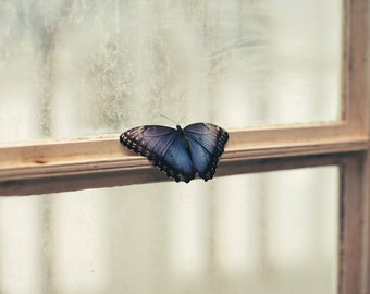 Blue Morpho Butterfly Insect on Window Art Print Wall Decor Image - Unframed Poster