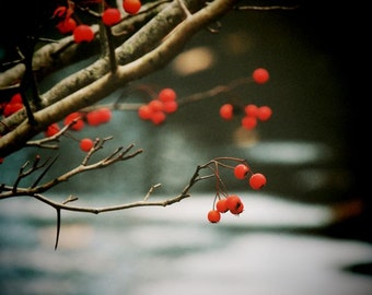 Autumn Red Berry Photograph - Nature Art - Tree Art -  Red Berries - Wall Decor - Moving Water  - Fall Berry - Nature Photograph