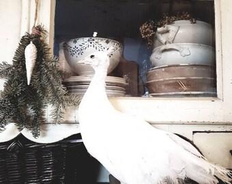 Vintage Peacock Preparation female white peacock rare