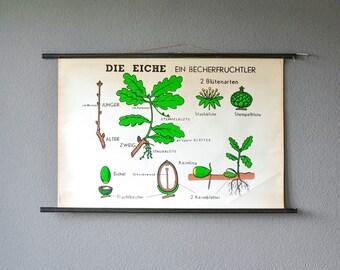 Vintage botanical chart, educational schoolchart,  pull down chart,  wall chart oak tree, school chart oak tree, teaching material botanic