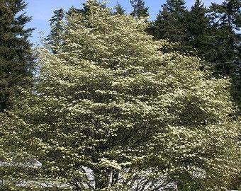 1000 Pacific Dogwood Tree Seeds, Cornus Nuttalli