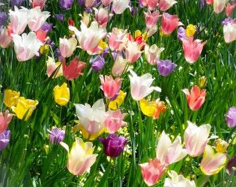 Tulips - Image 1956