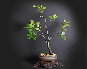 Myrtle Oak Bonsai Tree, Acorn Collection from LiveBonsaiTree