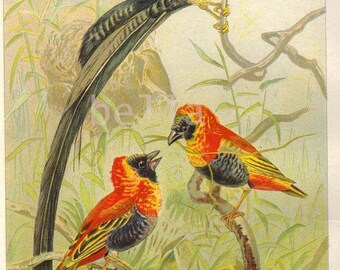 WEAVER BIRDS P.J. Smit  Antique Colored Print 1901 Lydekker P J. Smit