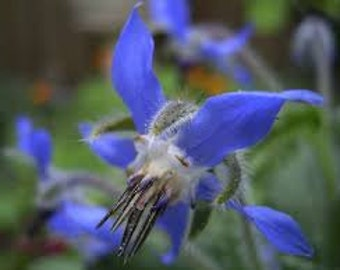 Borage Seeds, Borago officinalis, Organic, Herb Plant, Starflower, Bee Bread, Flower Essence Plant