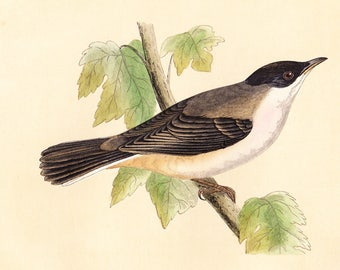 Antique Orphean Warbler Print . original old vintage bird plate woodblock . vol III, dated 1853 art specimen illustration