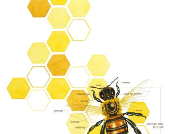 Honeybee Scientific Style Watercolor Illustration