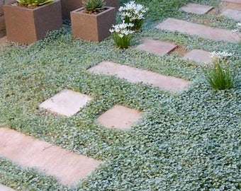 1000 DICHONDRA Repens aka Lawn Leaf Flower Evergreen Ground Cover Seeds