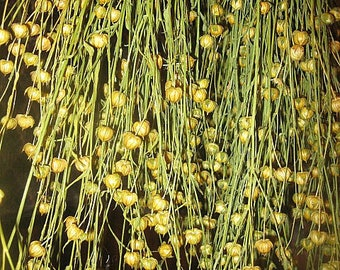FLAX  DRiED Flower BUNCHES    all natural seed pods on stems