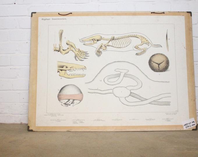 Large Anatomical Chart Of The Mole Circa 1930's