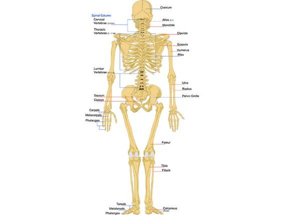 Skeletal System 1 Back Bones Skeleton Anatomy Skeletal Human Body
