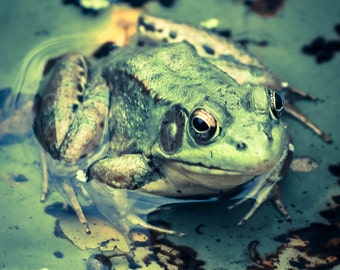 Friendly Frog: High Quality Photo Print of Green Pond Frog
