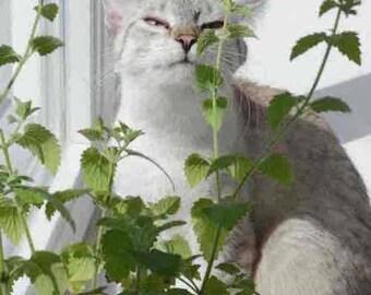 Catnip 10,000+ Seeds - Bulk Herb Seeds - Canada - 10 Grams