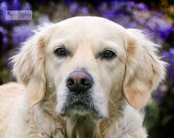 Sweet young GOLDEN RETREIVER dog full cute face  n front of purple Wisteria Vines Fine art Wall Decor Pet PHOTOGRAPHY