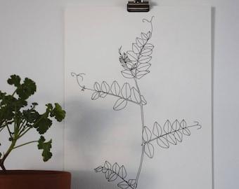Original botanical line drawing: Vetch
