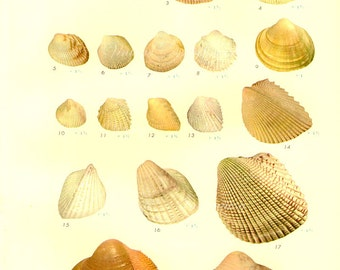 1958 SHELLS, antique vintage bookplate chart, original shells print 55 56