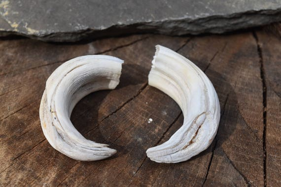 Wild Boar tusks, Large set of two from upper jaw