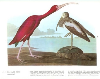 John James Audubon Bird Print - Scarlet Ibis - Vintage Natural Science Home Decor Art Illustration Great for Framing
