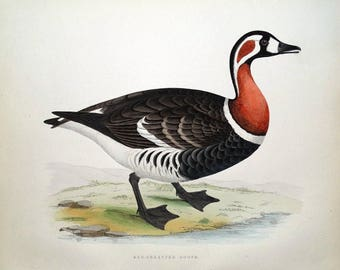 RED BREASTED GOOSE, Beverley Morris original antique bird print 1855
