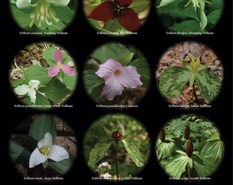 Black Background Trillium Poster