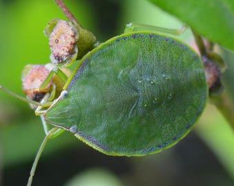 Framed Stinkbug nymph