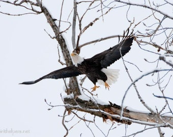 Bald Eagle Lift Off, Eagle in Flight, Winter Eagle, Snow covered Tree Branch, Wings a flight, Photograph or Greeting card