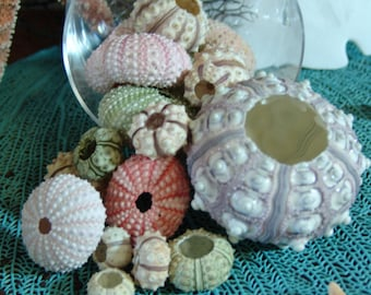 Sea Urchins Shell Sampler Gift Pack Colorful Variety Natural Urchin Shells Violet Pink Green Cream Decorating Ideas Beach Home Weddings Sea