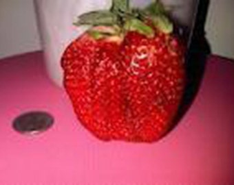 350 Giant Strawberry Seeds-1280