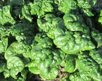 Abundant Bloomsdale spinach CERTIFIED ORGANIC seed 1 packet (100 seeds)