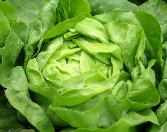 Parris Island Cos Romaine Lettuce ( 500 thru 5 LB seeds) Classic Heirloom #144