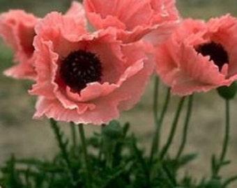 40+ Coral Reef Poppy / Papaver Orientale / Perennial Flower Seeds