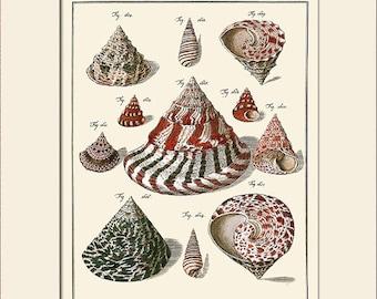 Vintage Sea Shell Print, Plate 167, Art Print with Mat, Note Card, Natural History Illustration, Wall Art, Nautical Art, Costal Decor