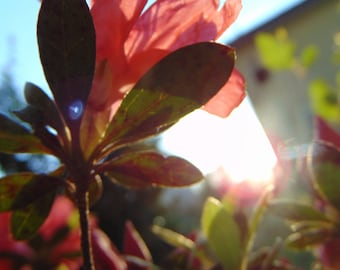 Red Flower with Sun Reflecting Behind Photo