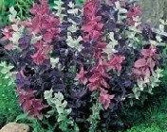 Clary Sage Seeds (Monarch Mix)100 Seeds