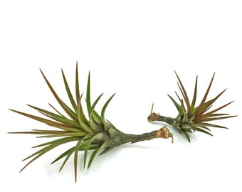 Tillandsia Tricolor v. Melanocrater Air Plant // Hello Tilly Airplant