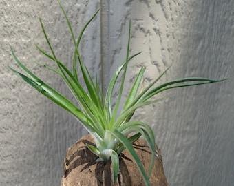 Tillandsia Stricta Green  Air Plants