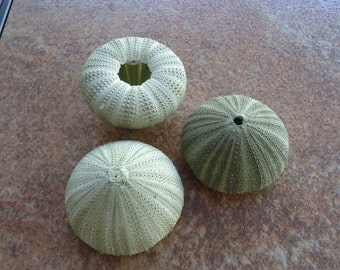 Green Sea Urchin Shell Perfect for Mounting Tillandsia