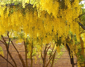 Laburnum Anagyroides, Golden Chain Cold Hardy Tree 20/100/500 Seeds, Flowering Landscape & Garden Plants