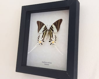 Real butterfly framed - Graphium androcles