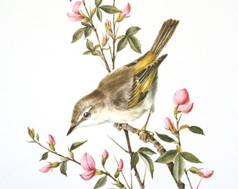 Three bird prints by A. Marlin. Songbirds, Switzerland, blossoms, warbler, firecrest.