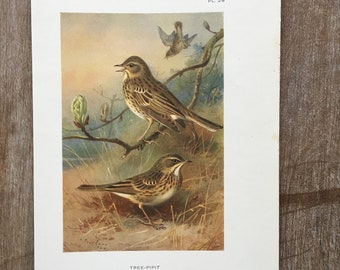 1925 Bird Original Antique Lithograph, Vintage bird prints, Antique bird print, Antique birds wall decor, Bird wall art, Pipit old print