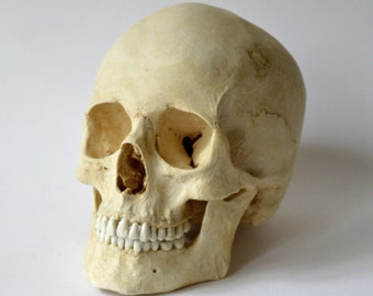 Female Human Skull Replica
