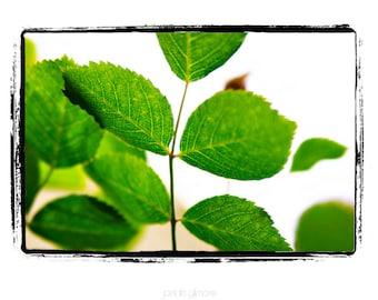 "Green Mint Leaves on White Backdrop ""Fresh"" Fine Art Print"