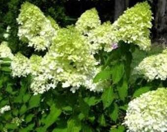 Limelight Panicle Hydrangea - Live Plant - Quart Pot