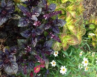 Purple Basil Seed,  Dark Opal Purple Basil, Ocimum basilicum, Herb Garden Favorite, Easy to Grow Basil Seeds